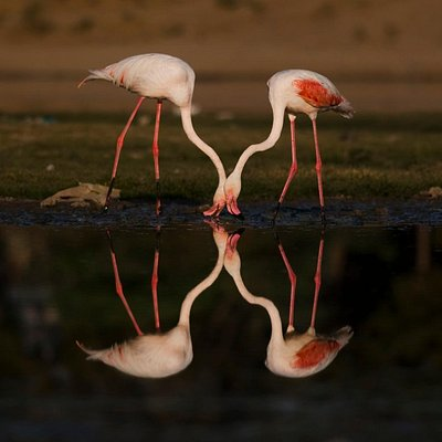 fenicoterri - flamingos
