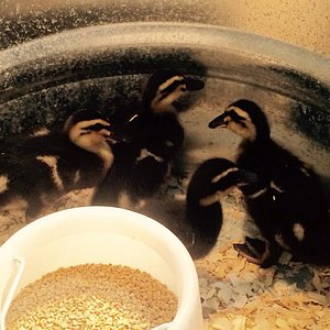 Ducks, chickens and turkey chicks for sale?