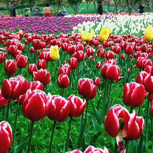 Campo de tulipas de diversas cores