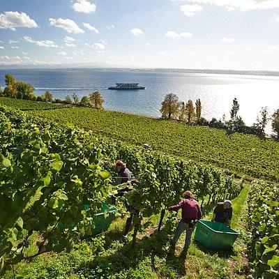 Weinlese beim Staatsweingut Meersburg
