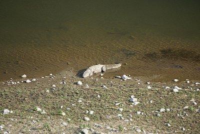 Lone Crocodile on Ramganga river under Marchula bridge