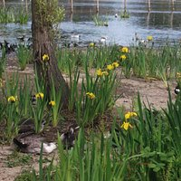 View of Baffins Pond with the Iris,s in bloom