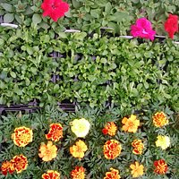 plants ready for sale