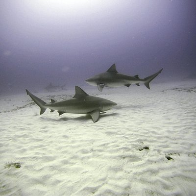 Bull shark season in November! Don´t miss the experience of diving & feeding our beautiful frien