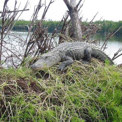 gator on Nest
