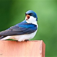 Barn swallow calls for his mate