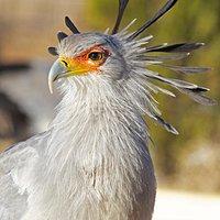 Rooney - Secretary Bird