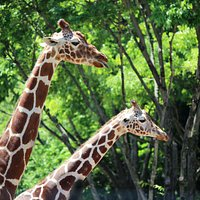 Giraffe pair at Tama Zoo