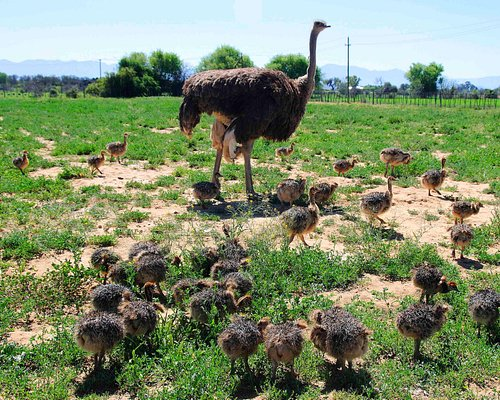 female ostrich with little chicks #Safari Ostrich Farm