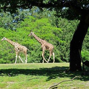 Giraffes at Woodland Park Zoo