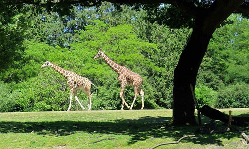 Giraffes at Woodland Park Zoo