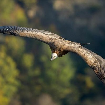 Griffon vultures offer spectacular views