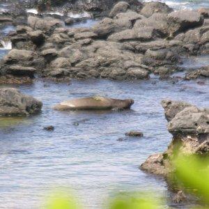 Phoque moine (monk seal)