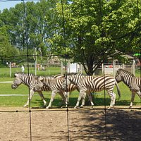 zebras on patrol