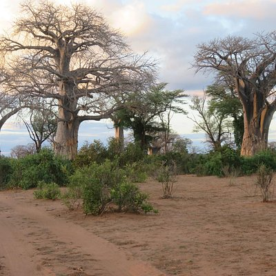 Some big Baobabs