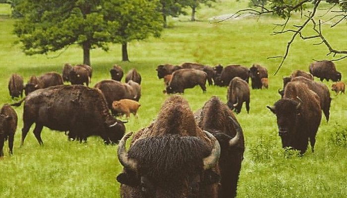 Bison on the grounds