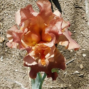 All irises have names--I don't remember this one!