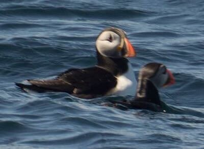 You need a pretty good zoom lens, so you can catch the puffins
