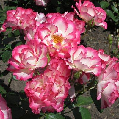 Maplewood Park's roses