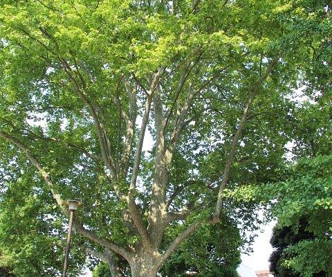 四谷見附公園 プラタナスの大木