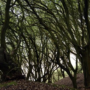 Lookng out to sea through interlocking branches