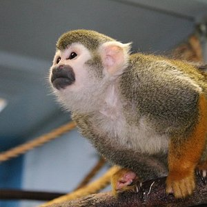 One of our squirrel monkeys Buddy