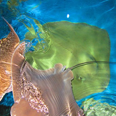 Pet & Feed Stingrays at Aquarium Encounters!