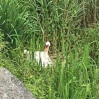 Breeding Swan - Woluwe Parc
