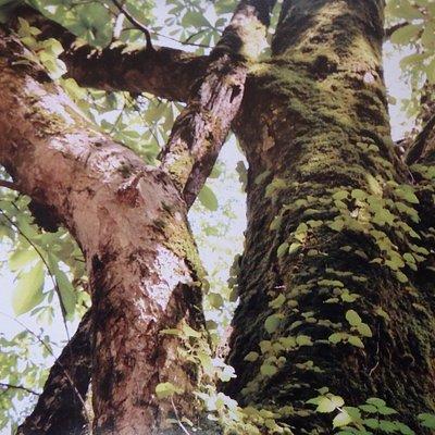 栃の大木、別名「山の神」とも呼びます