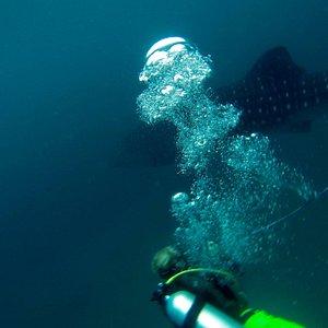 Whale Shark at Fridays Rock