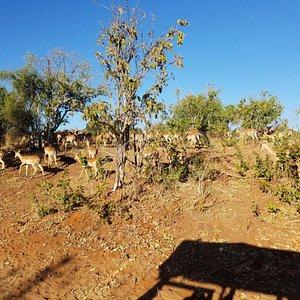 so many impala.