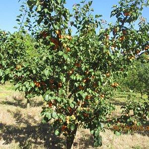 Aprikosen kann man pflücken