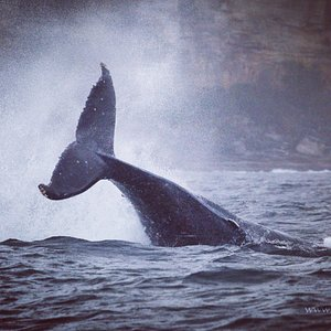 Go Whale Watching Sydney