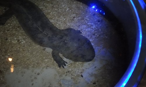 A Small Giant Salamander, at the museum, and he is very much alive.