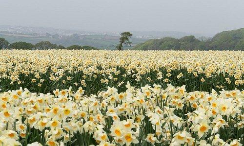 Daffodils in May.