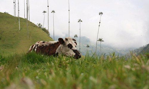 Vaca en el bosque del cocora