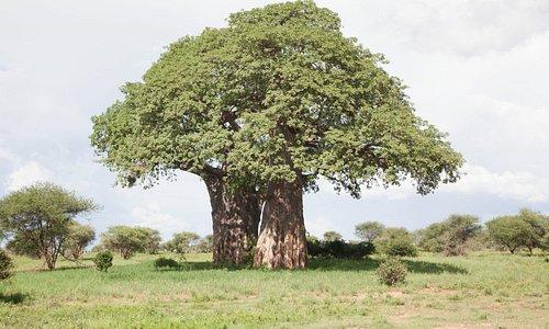 The Ubiquitous Baobab