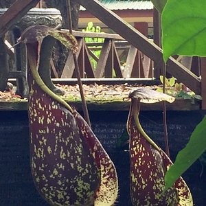 Pitcher plants found here in this place.  There are 34 varieties and these are some samples of w