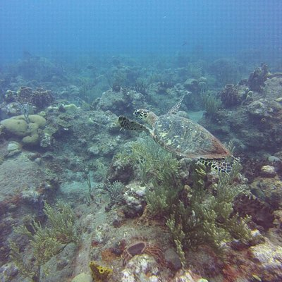 Sea turtle at Tent Reef site in Saba