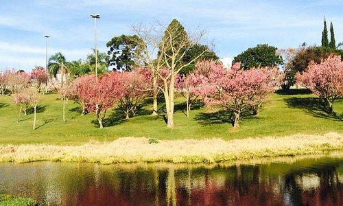 A florada das cerejeiras no Parque do Lago