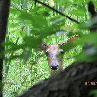Deer spying on us!