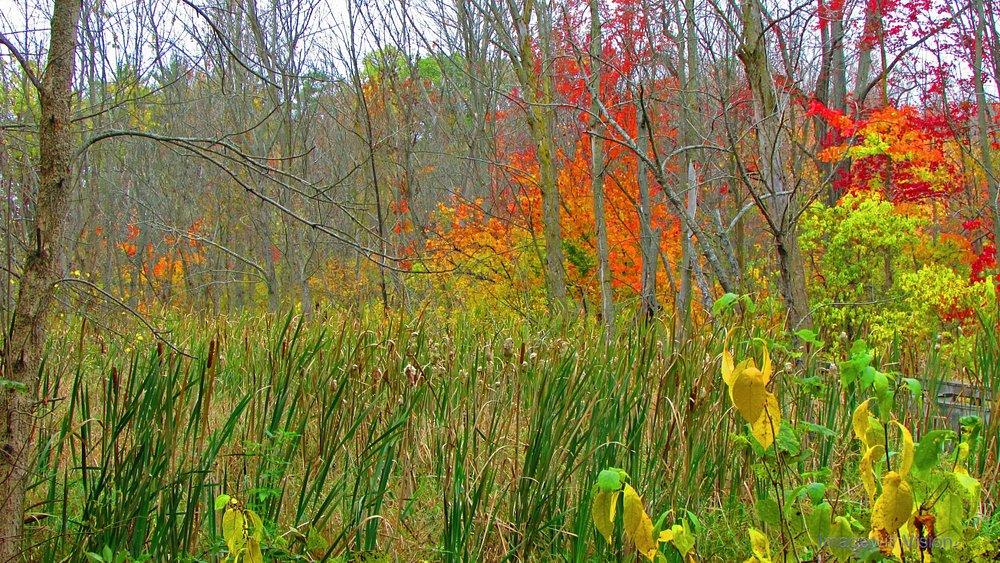 Fall: Swamp color off boardwalk
