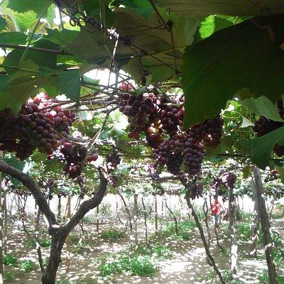 Parreiras lotadas de uvas docinhas!!