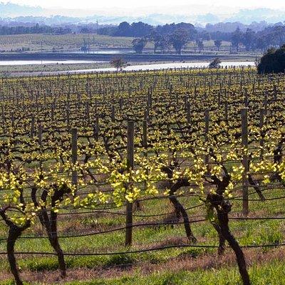 Chardonnay vines growing at Brangayne