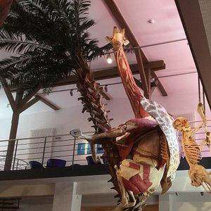Giraffe am Baum, Mensch benutzt die Strickleiter