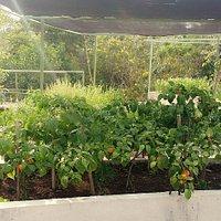 Chiles creciendo en nuestro huerto..