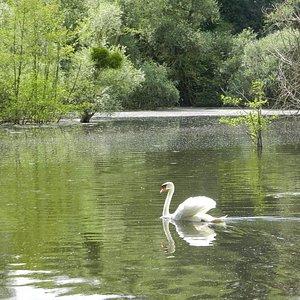 nager sur l'étang