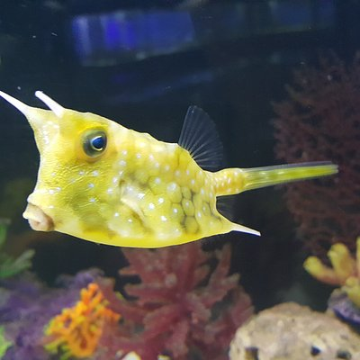 Рыба-коровка
