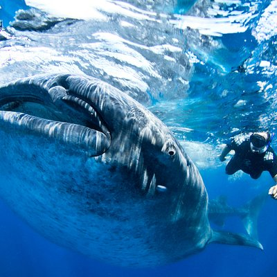 Snorkel with Whale Sharks Tours Cozumel, Cancun, Playa Del Carmen