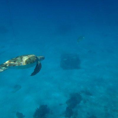 Tartarugas em abundância nas aguas azuis